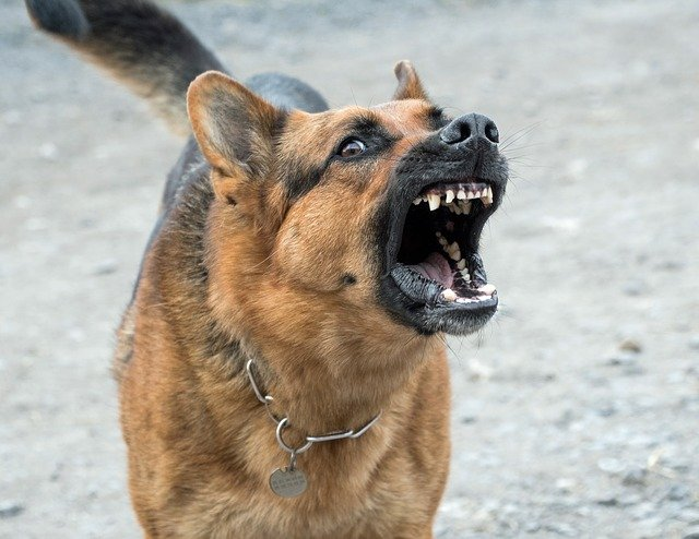 Picture of angry german shepherd.jpg