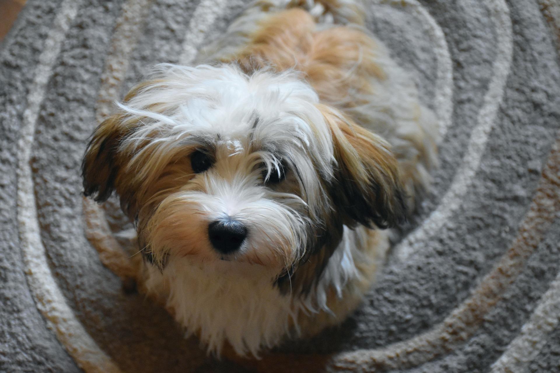 Picture of havanese dog.jpg
