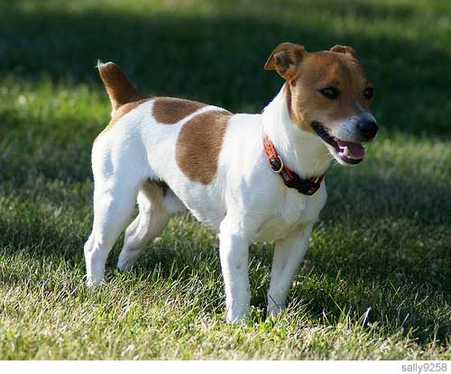 Picture of jack russell terrier.jpg