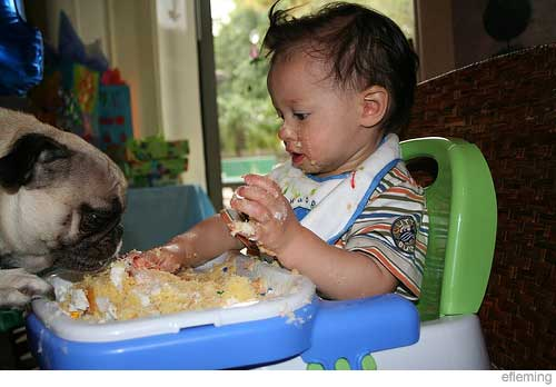 Picture of pug and baby eating cake